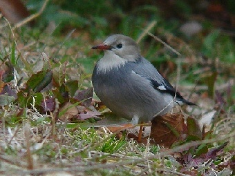 △ギンムクドリ 2011年2月20日 葛西臨海公園 池の西側斜面に、ムクドリと共に採餌していた。
