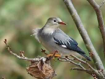 △ギンムクドリ 2011年2月20日 葛西臨海公園 枯れ葉の中の虫を探して食べた。