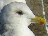 ・2010年1月9日 銚子港    ・嘴が小さく、頭に丸みがあり、目が可愛い。 足も短めという形体的特徴が見られる。