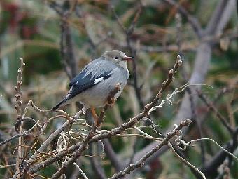 △ギンムクドリ 2011年2月20日 葛西臨海公園 池の西側に飛んで来たとき、必ずとまった枝。