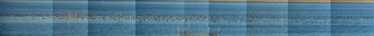 ◇ トモエガモ  沼の中央部に展開するトモエガモの大群。 この9枚組の画像カウントでは、 トモエガモ 1571羽、オナガガモ 47羽、ミコアイサ 1羽。 他にも散らばっているので、実数はもっと多い。