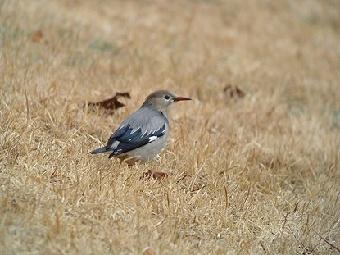 △ギンムクドリ 2011年2月20日 葛西臨海公園 木から飛び降りて、芝地で採餌。