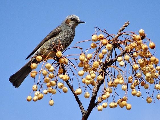 ◎ ヒヨドリ  ・数羽のヒヨドリ、ムクドリが、センダンの木に集まっていた。