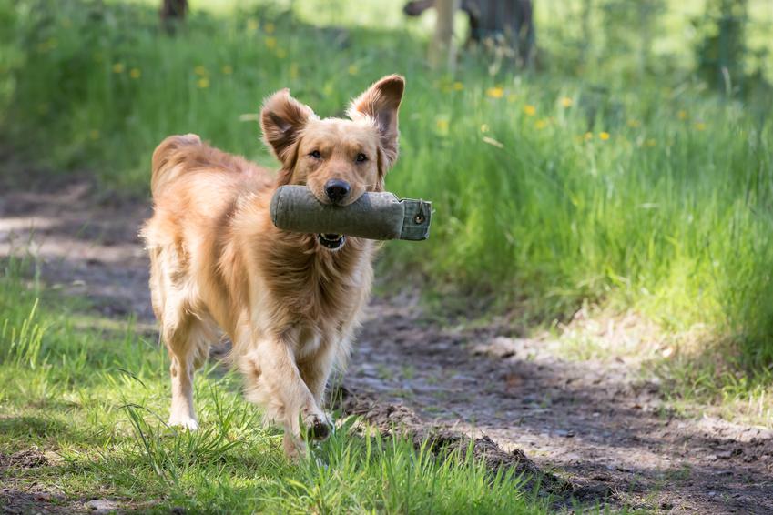 Apportieren und Dummyarbeit in der Hundeschule in Offenbach und Heusenstamm. Foto: Fotolia_56281550_S