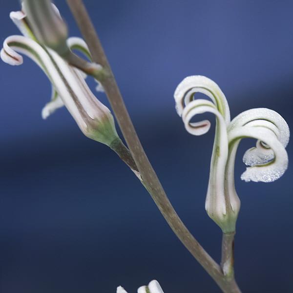 Howorthia fasciata - Blüte