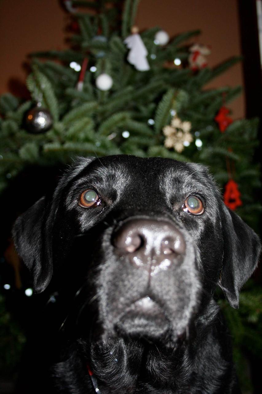 """25.12.2015 Duncan """"Drumnadrochit's Duncan"""" unter'm Weihnachtsbaum"""