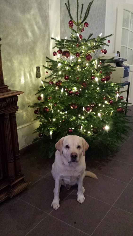 """28.12.2015 Giaccomo """"Drumnadrochit's Arathorn"""" unterm Weihnachtsbaum ..."""
