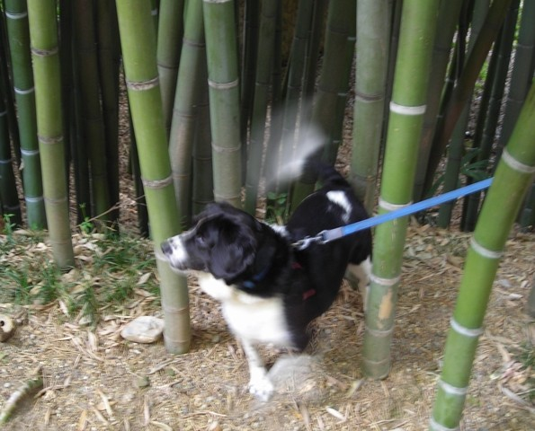 Those bamboos in Prafrance are thick and tall ! Ouch my tail !