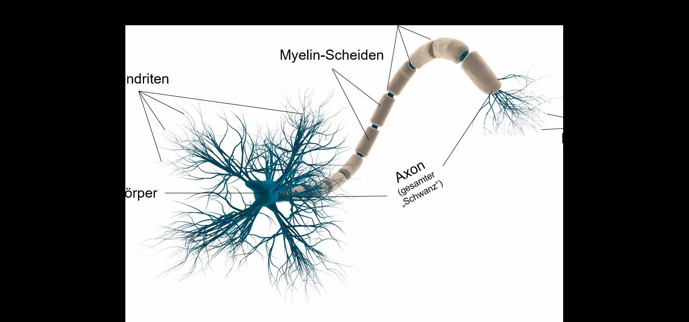 Nervensystem und Gehirn   Vorbereitung auf den MSA