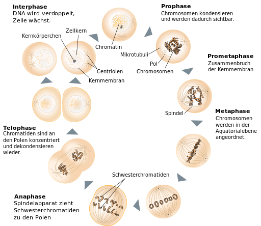 Mitoseschema, By Diagrama_Mitosis.svg: Jpablo cad translation: Matt (Diagrama_Mitosis.svg) [CC BY-SA 3.0 (https://creativecommons.org/licenses/by-sa/3.0)], via Wikimedia Commons
