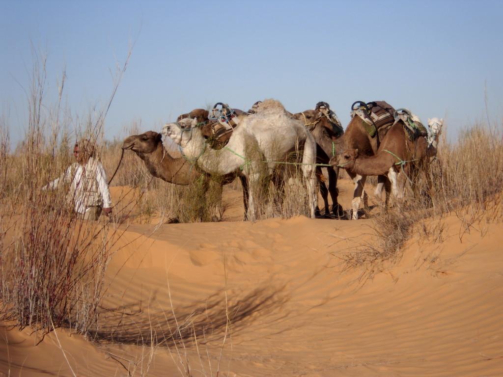 Morgendliches einsammeln der Kamele