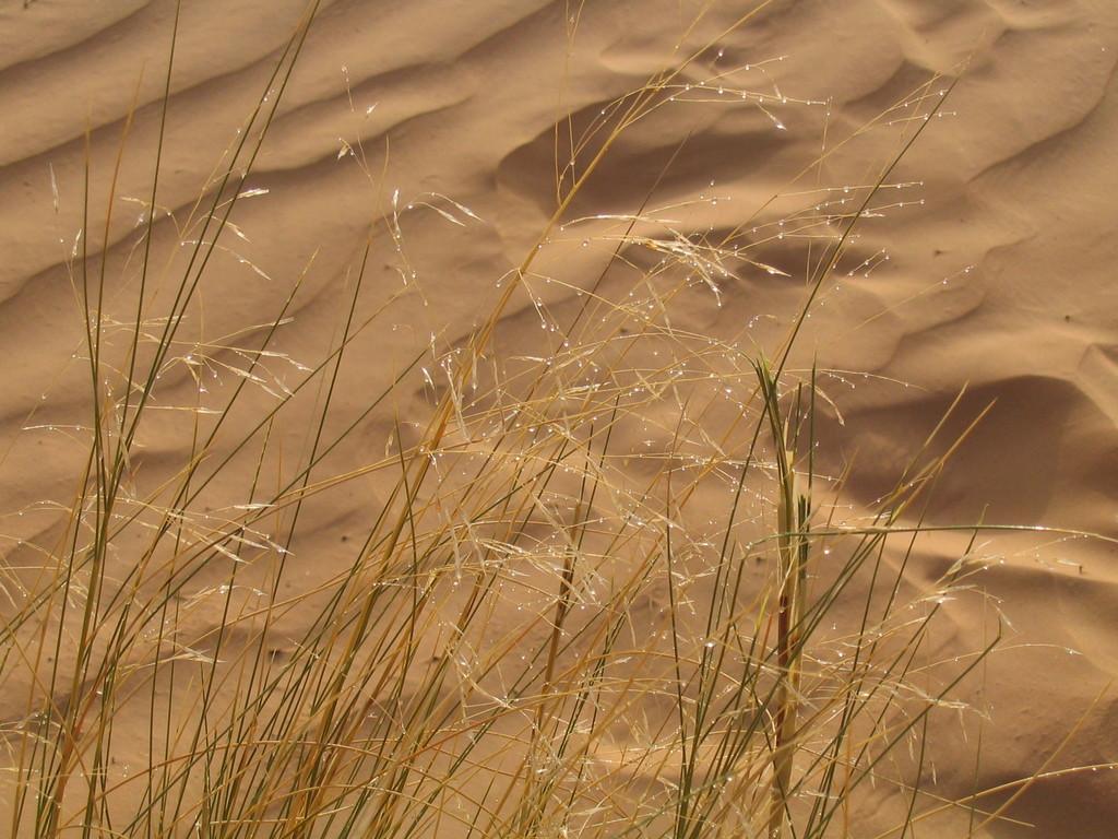 Gräser mit Morgentau