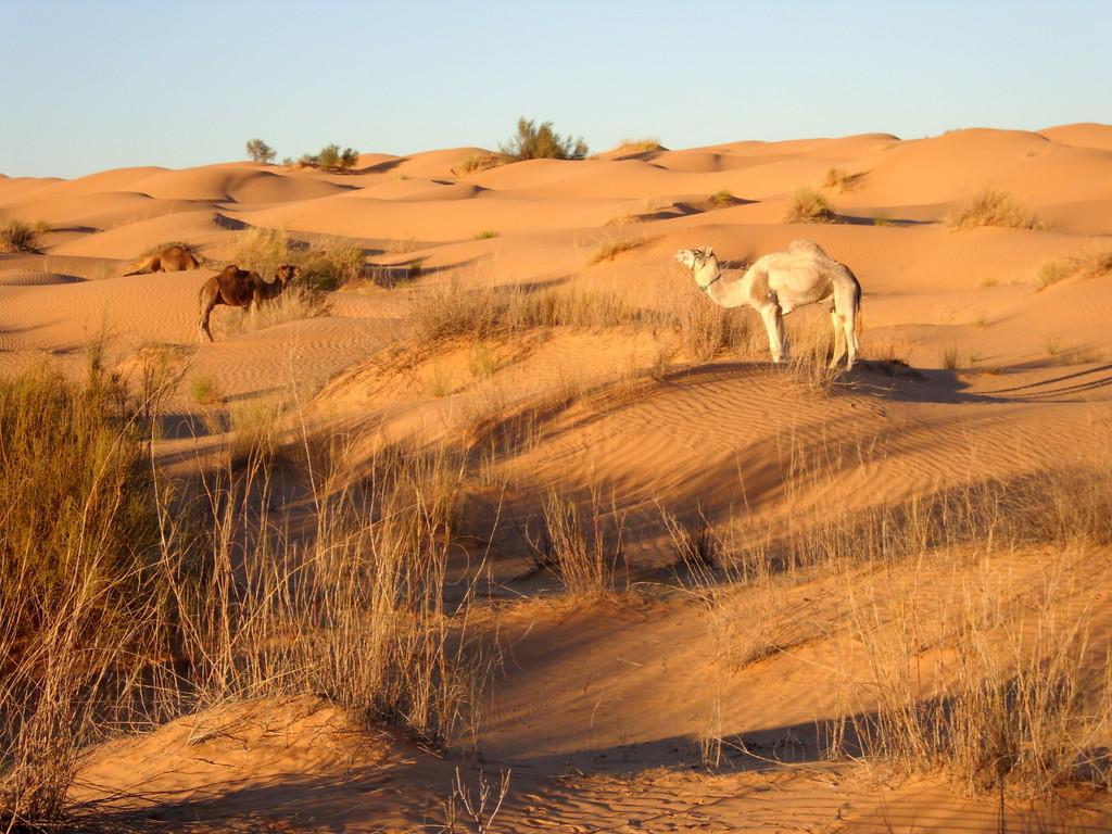 Kamele in der Nachmittagssonne