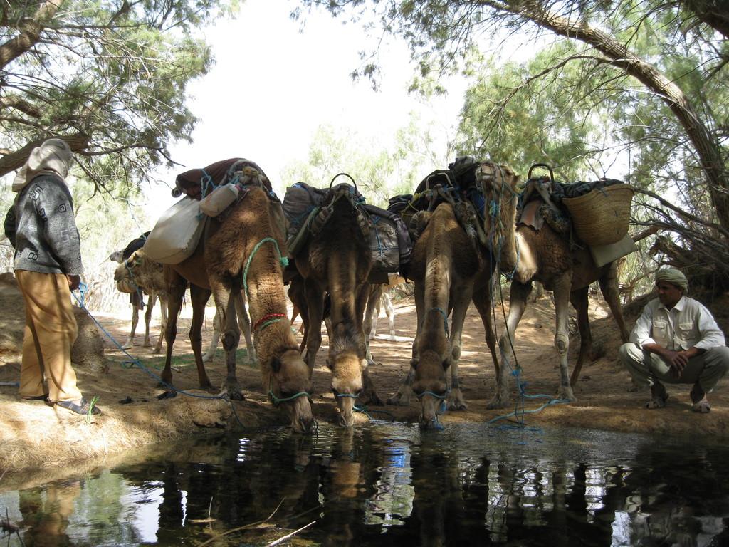 Nach der Tour, unsere Kamele in der Oase