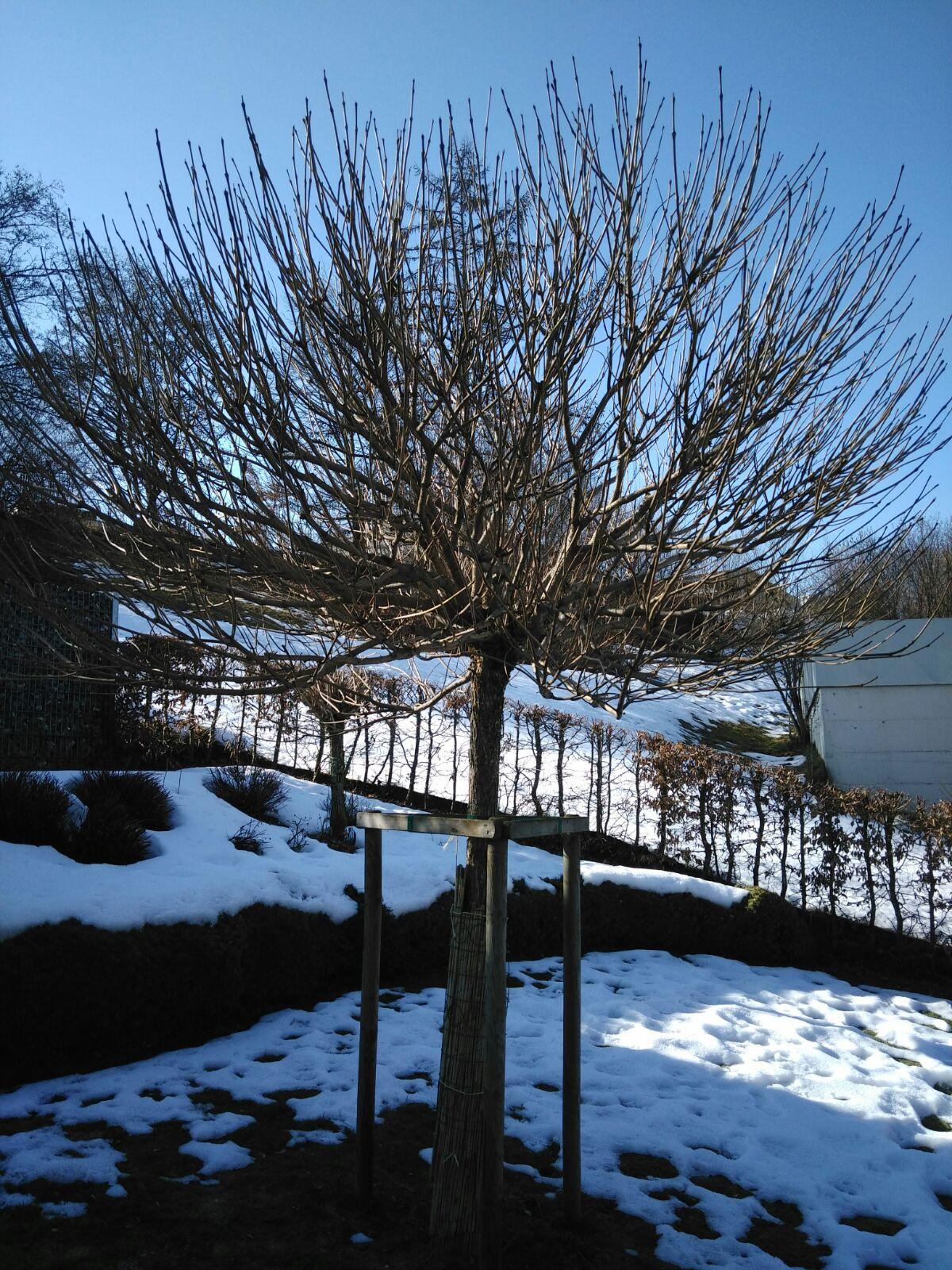 Trompetenbaum vor Winterschnitt