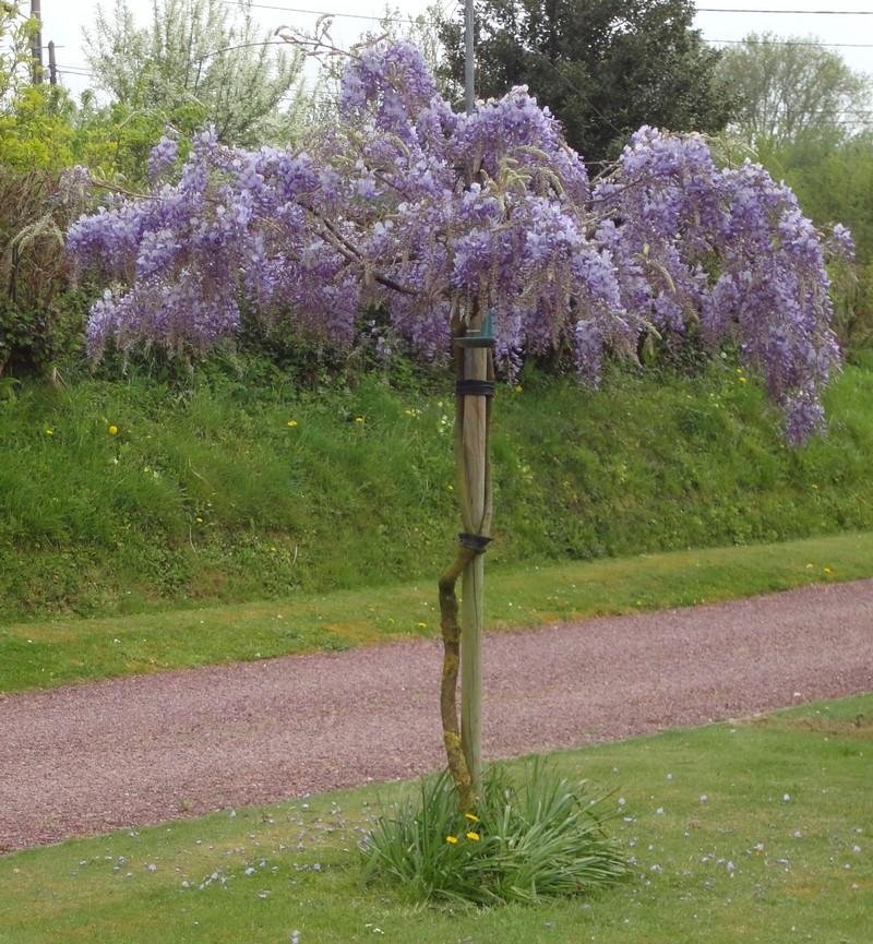 Catherine et Norbert Béatrix : Glycine taillée en arbre