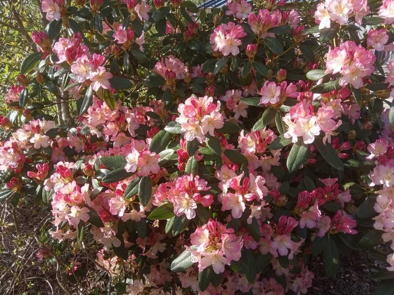Marie Claire et Alain Guézou : Rhododendron