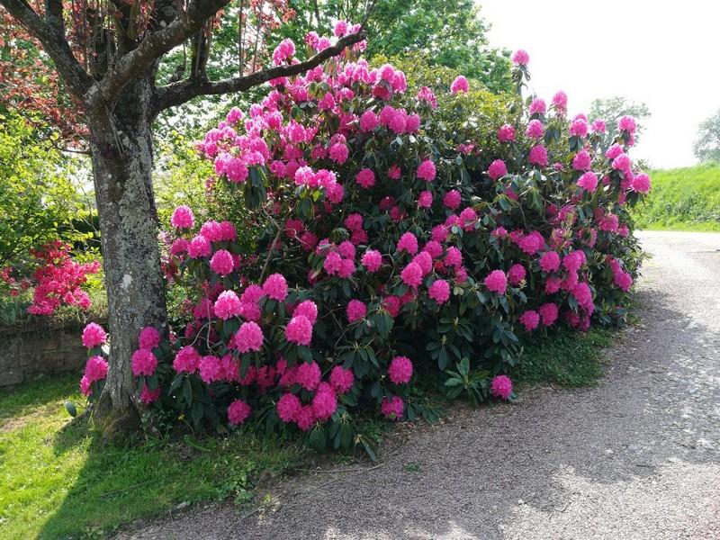 Solange et Gilbert Calipel : Rhododendron