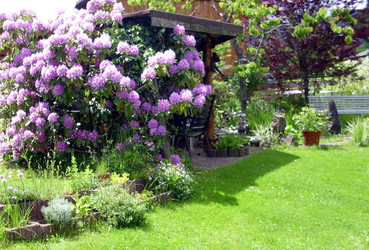 Rhododendronblüte in unserem Garten