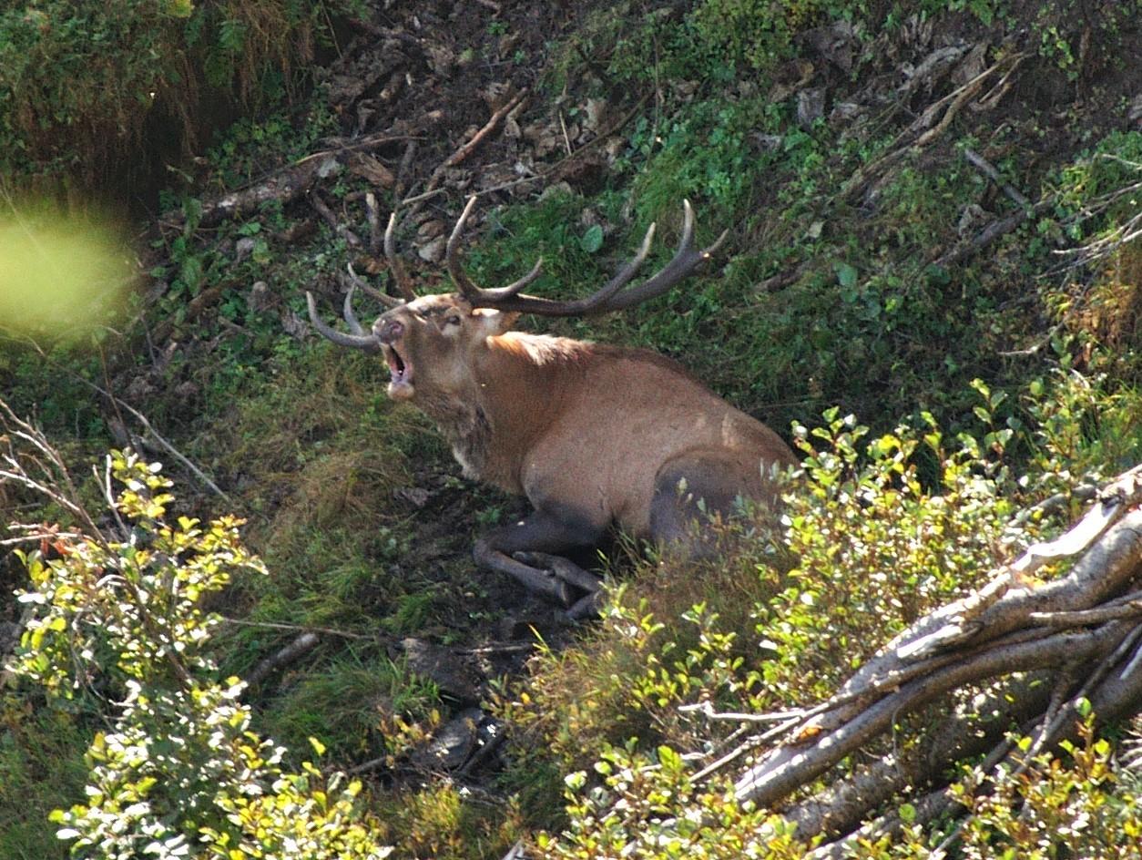 Cervo maschio