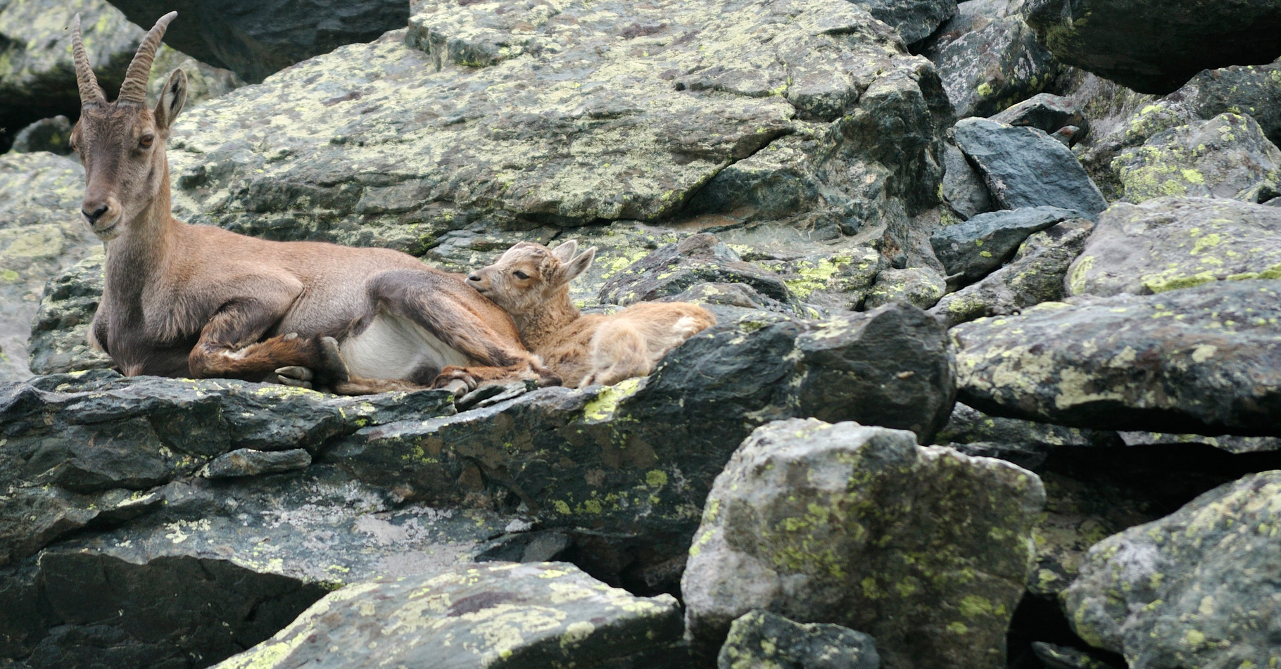 Stambecco femmina con cucciolo