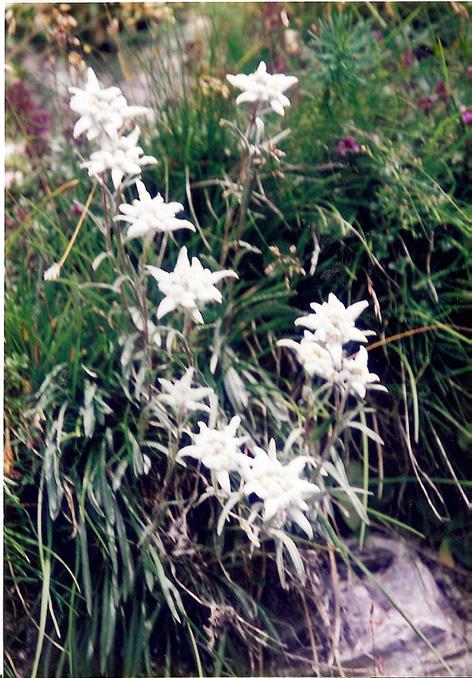 Edelweiss am Munt la Schera (blühen auch im August) die ganze Wiese übersät davon