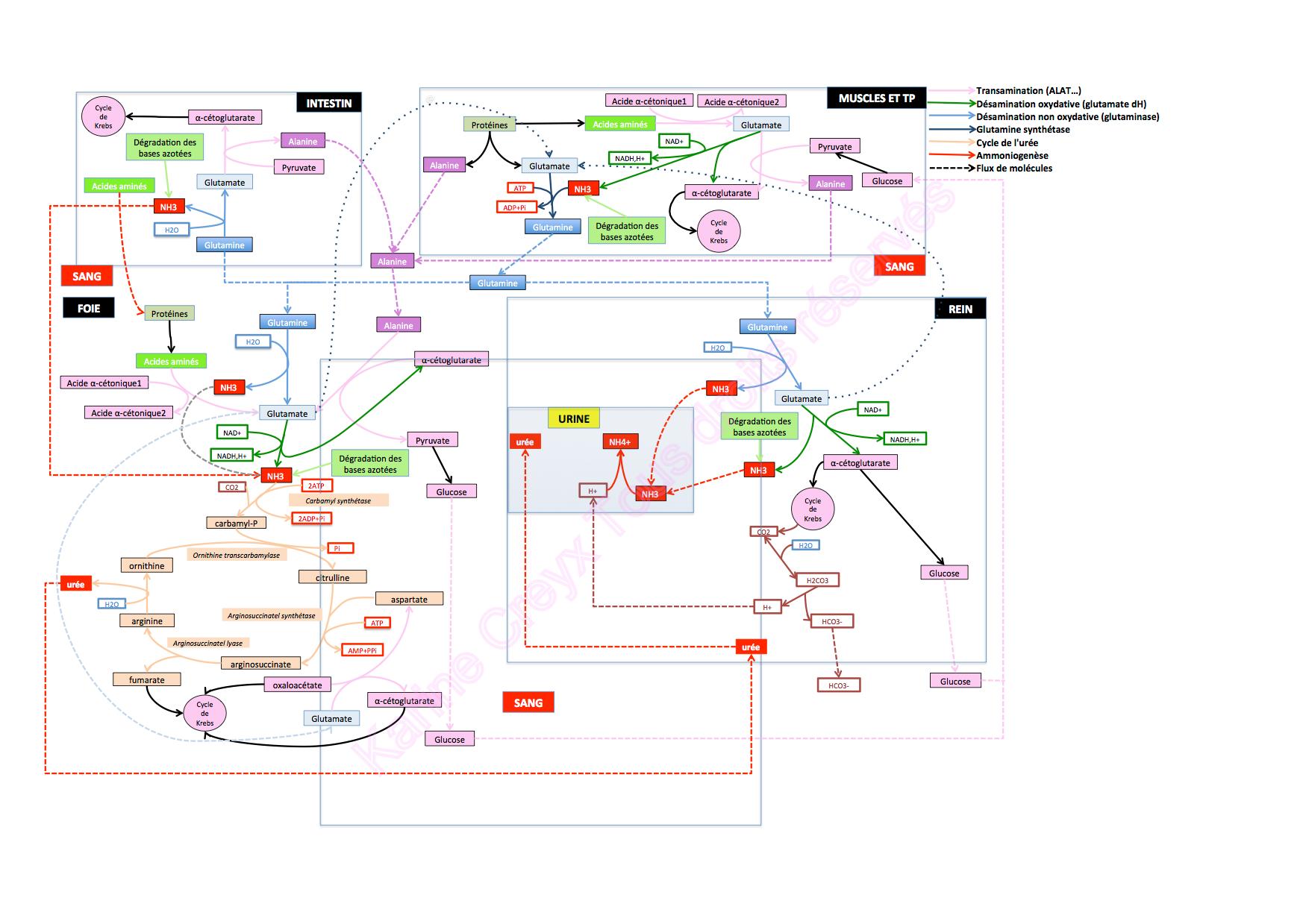Synthèse du métabolisme azoté - Cours BTS diététique
