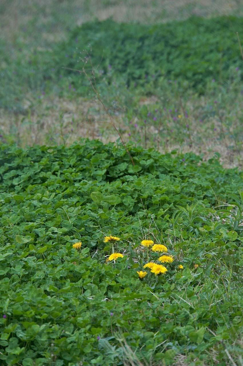 秋葉原の空き地に咲くTanpopoさん