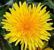 明日、一足早い春。高田馬場にタンポポの花が咲きます