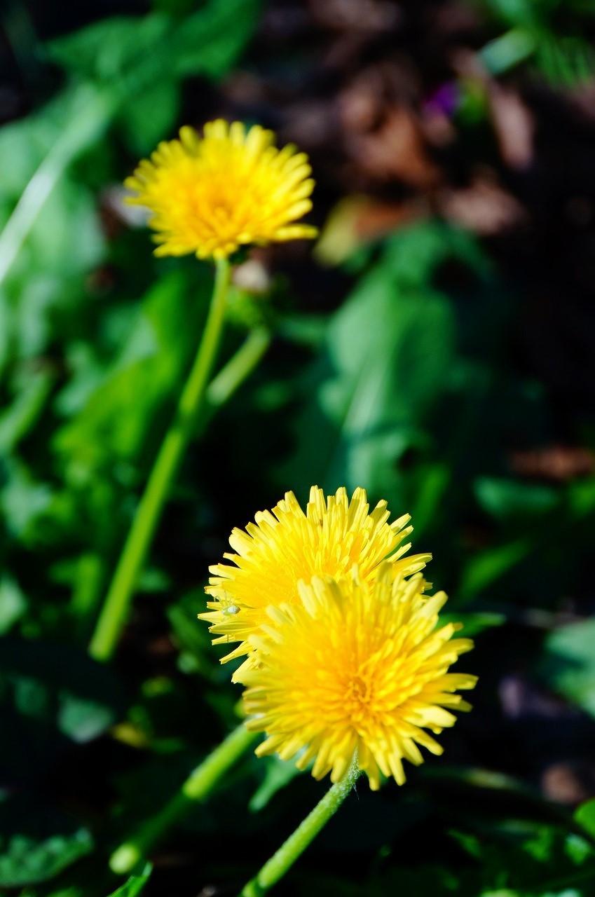 そして…かわいらしいタンポポも咲いていたよ