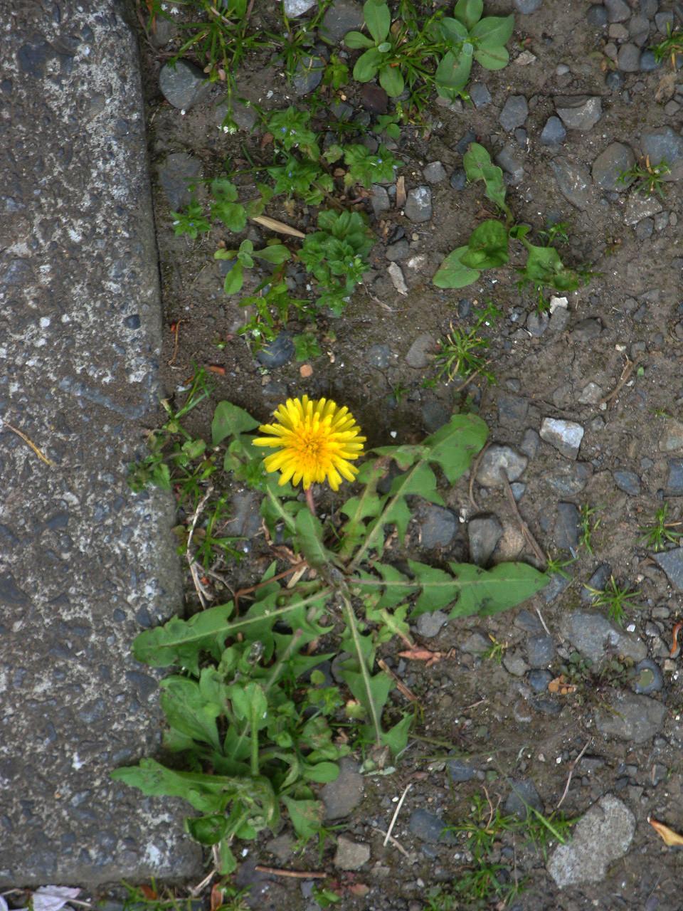 硬い土からもしっかりと花を咲かせるTanpopoさん