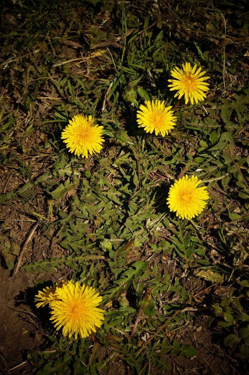 風に負けないように地面にくっついて咲いていた…
