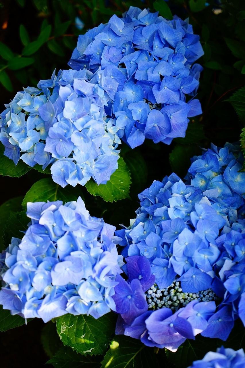 アジサイの語源は小さな青い花が集まって咲く様子に由来するんだって