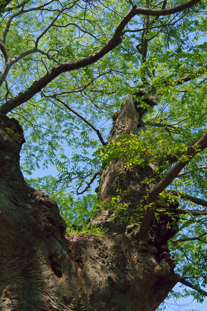 800 year-old Japanese zelkova