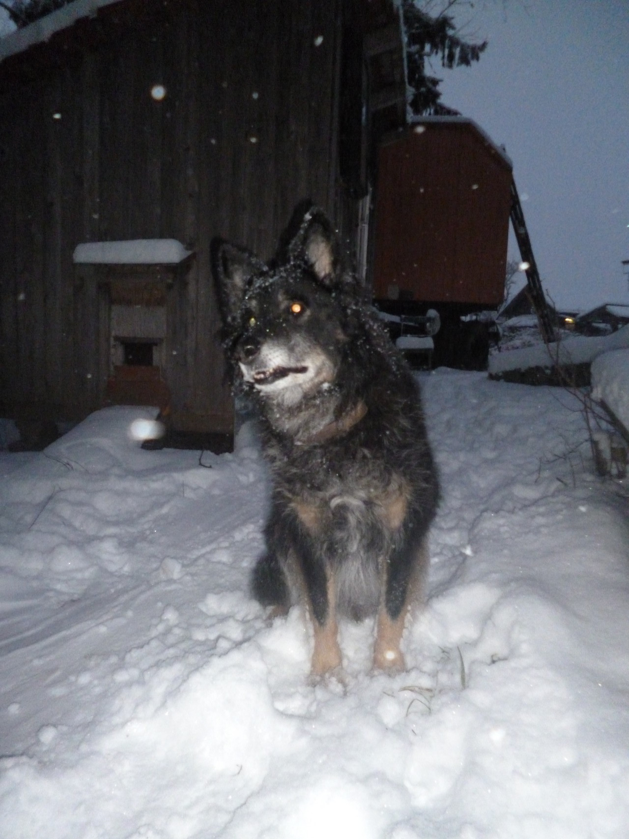 Wolf, unser Hundeopa