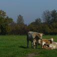 Vache de la Ferme Durr Biolacte en liberté