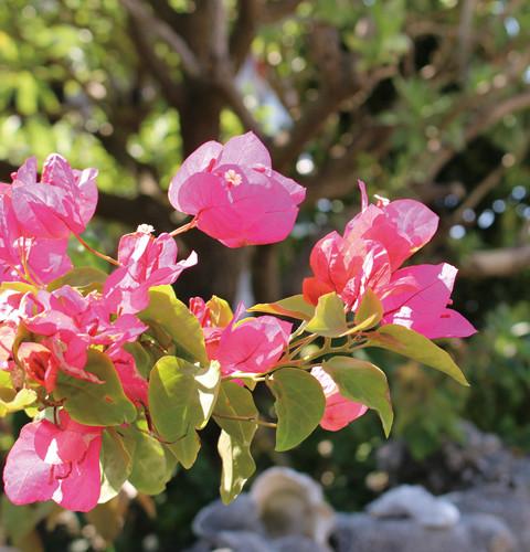 集落の庭先には、色鮮やかなブーゲンビリアが咲いている