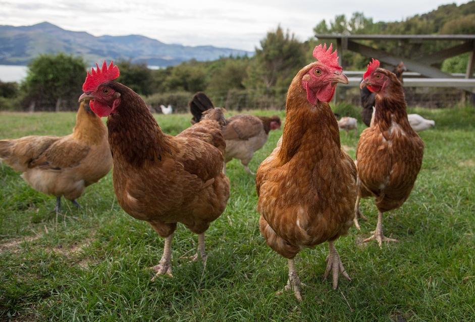 TAG SIEBENUNDZWANZIG Munter grüßt die Hühnerschar zum guten Morgen...