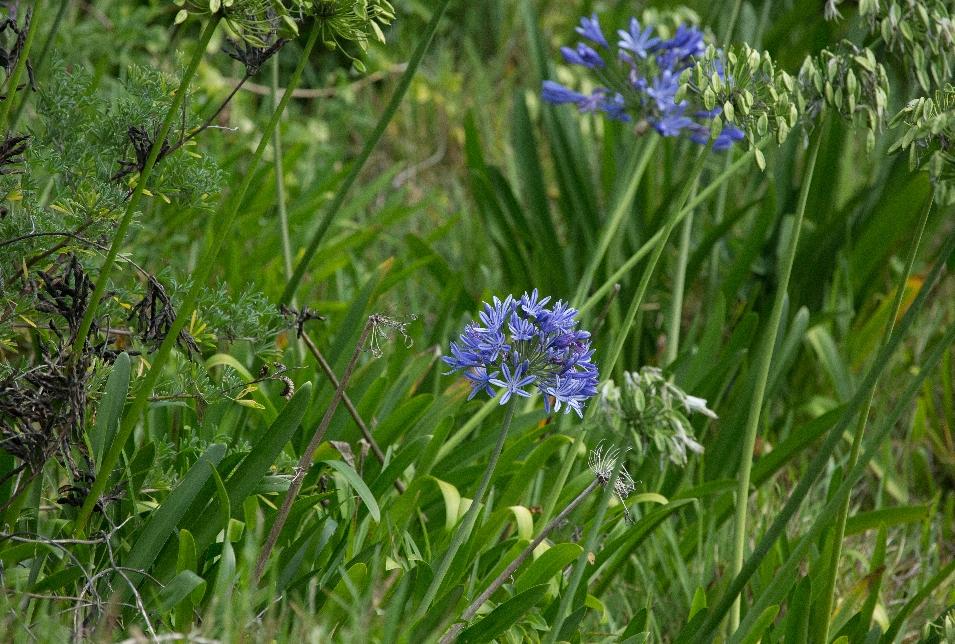 ...wo überall blaue Blümchen blühen...