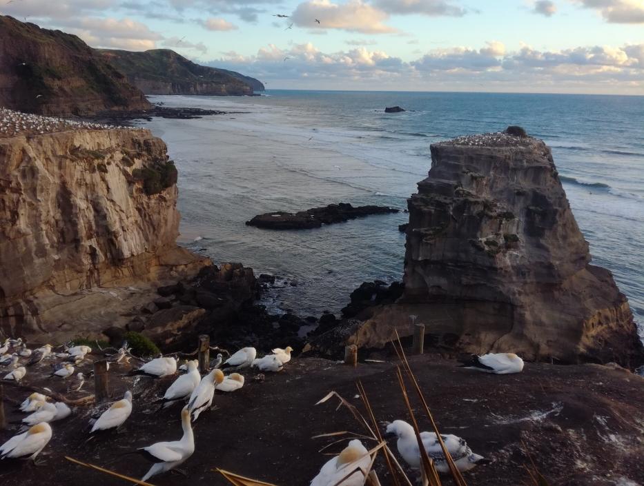 Wenn man es nicht nach Helgoland schafft, schaut man sich die Basstölpel eben in Neuseeland an 😜