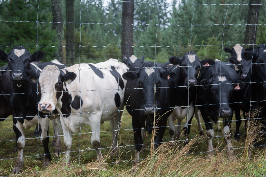 Auf dem Lande wurden wir von einer Horde Rinder freudig und über alle Maßen lautstark im Canon begrüßt, die wissen wohl, dass wir Germanen ansich eher auf Schwein stehen.