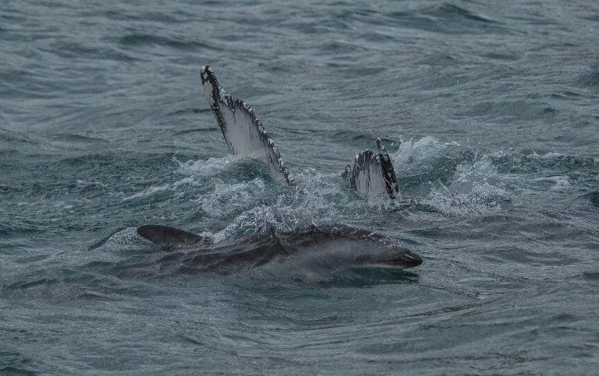 ... der von einer Horde Delfine begleitet wurde ...