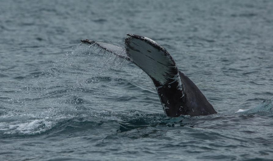 Ein Stück weiter trafen wir auf einen Buckelwal, ...