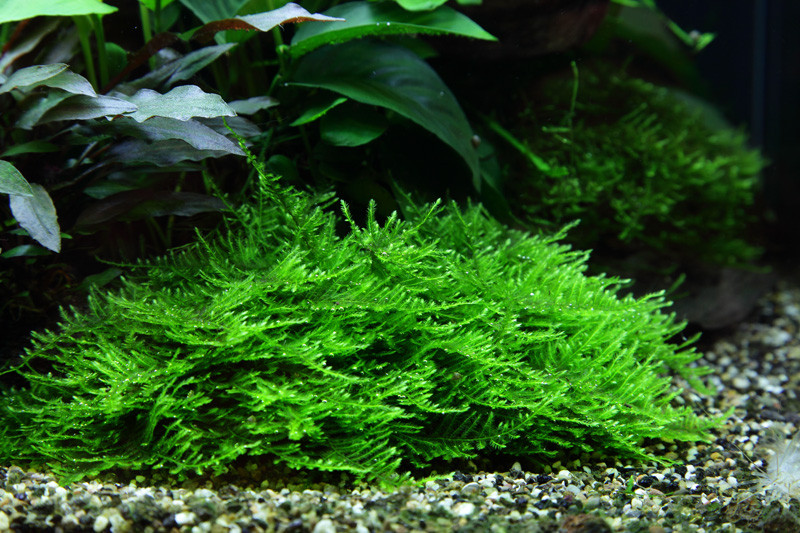 spiky moos taxiphyllum sp spiky moss 100ml 4 99 shrimpfarm. Black Bedroom Furniture Sets. Home Design Ideas
