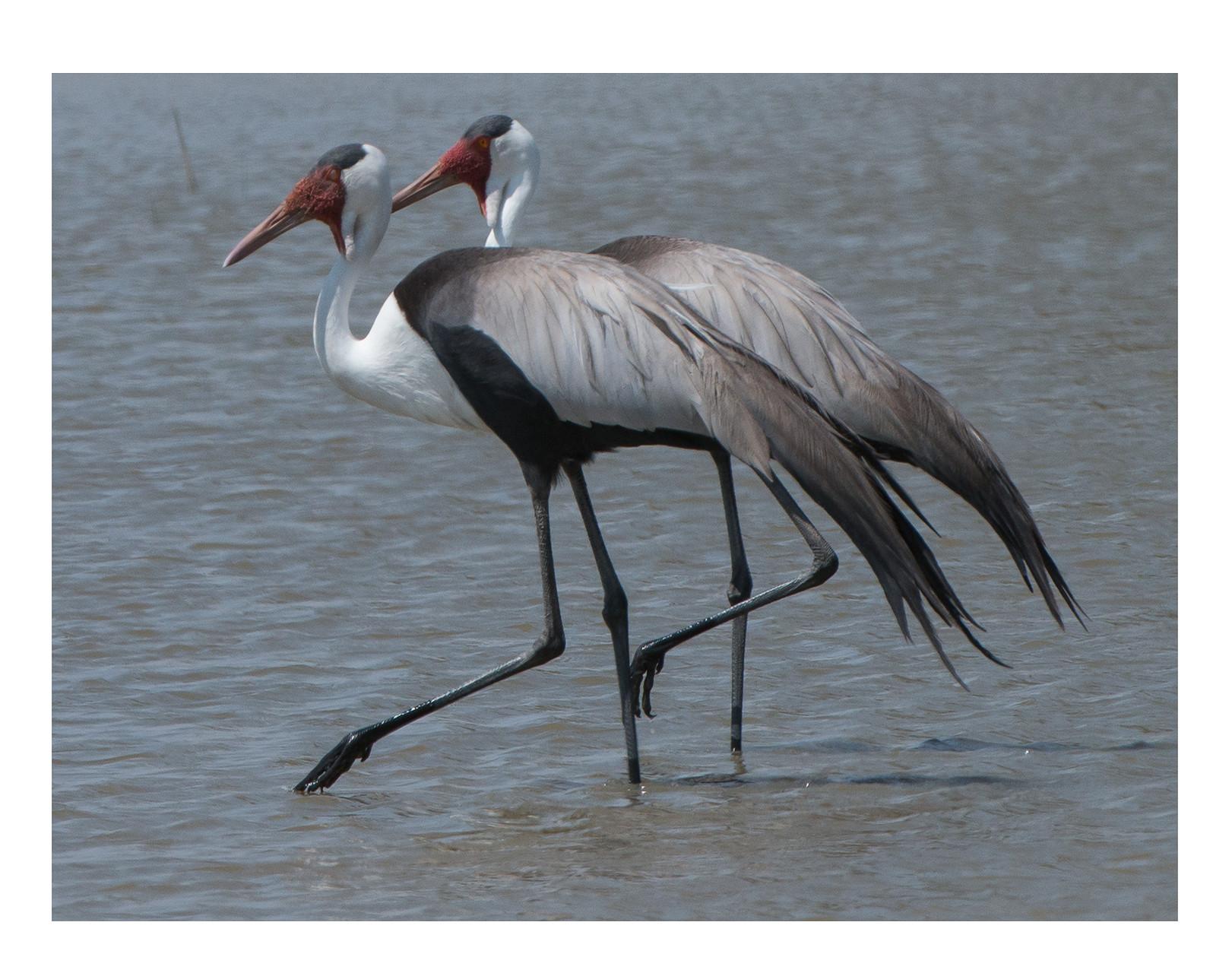 L4169 Wattled Cranes