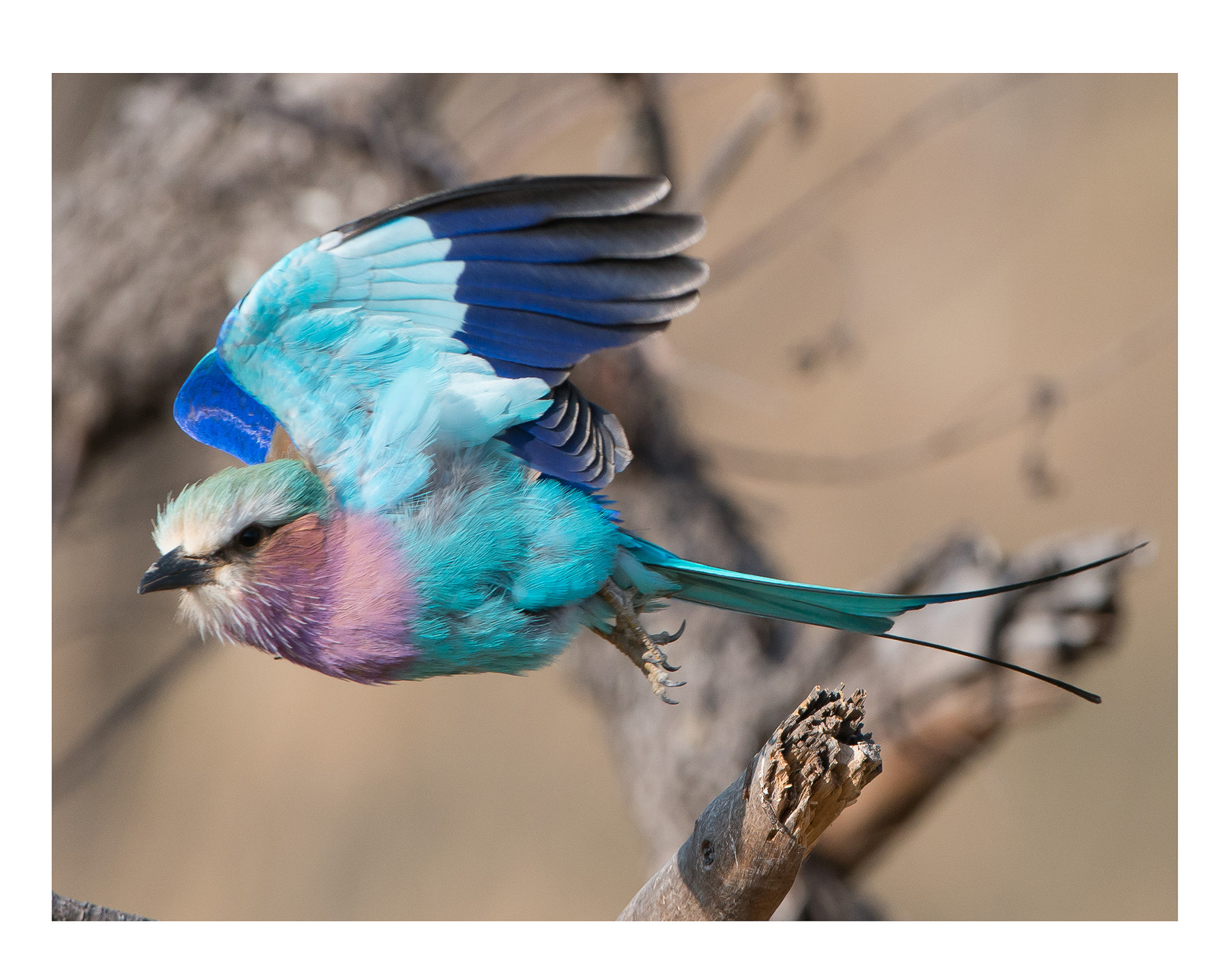L3610 Lilac Breasted Roller