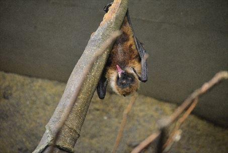 コウモリの繁殖能力について
