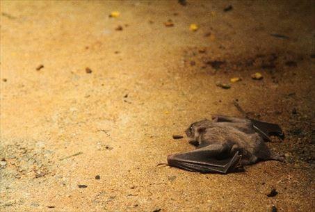 コウモリは長生き
