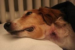 Bonny nach der Tumor OP am Hals