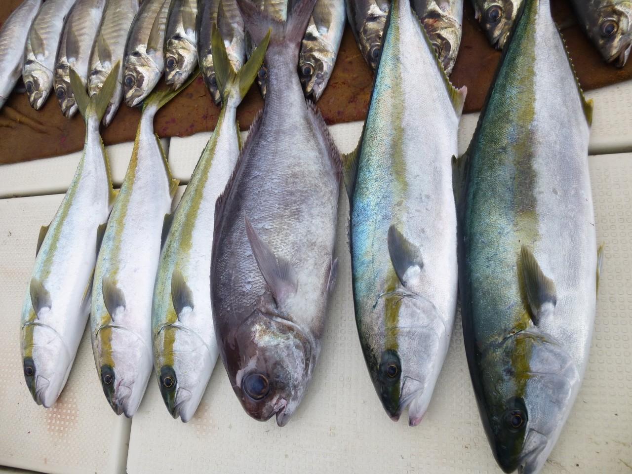 3月31日漁礁でメダイ5㎏超え ヒラマサ6kg超え・5kなし・ヒラゴ×3匹
